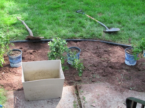 Planting a blueberry hedge